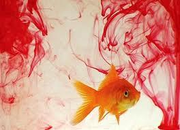 Cá vàng 1