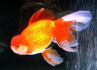 Cá vàng ba đuôi