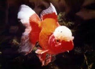 Cá vàng đầu bò