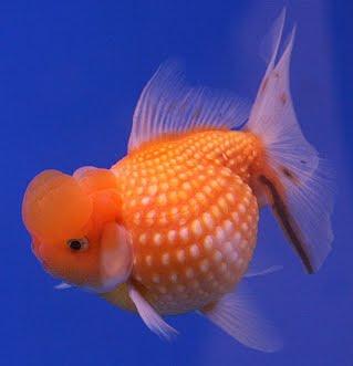 Cá vàng vẩy ngọc